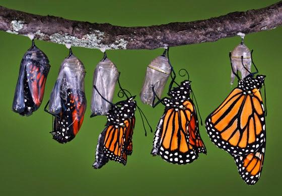 papillon en transformation